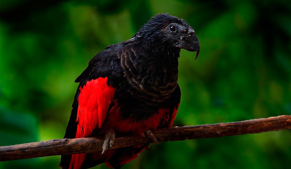 Papagaio Drácula? A ave mais gótica do planeta